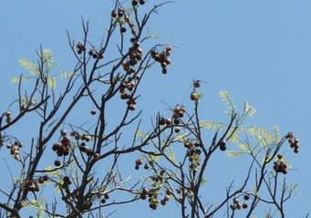 soapberrytree